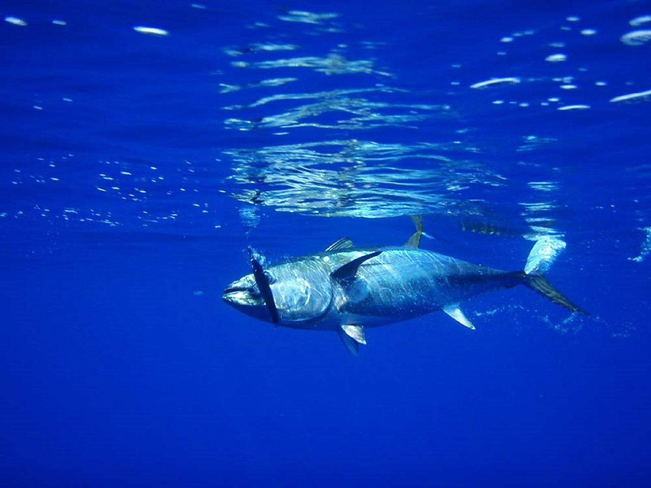 Fish, Tuna