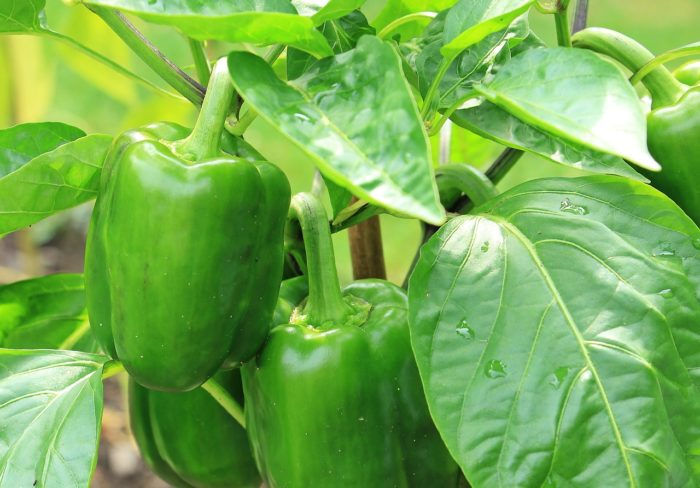 Green,, Pepper
